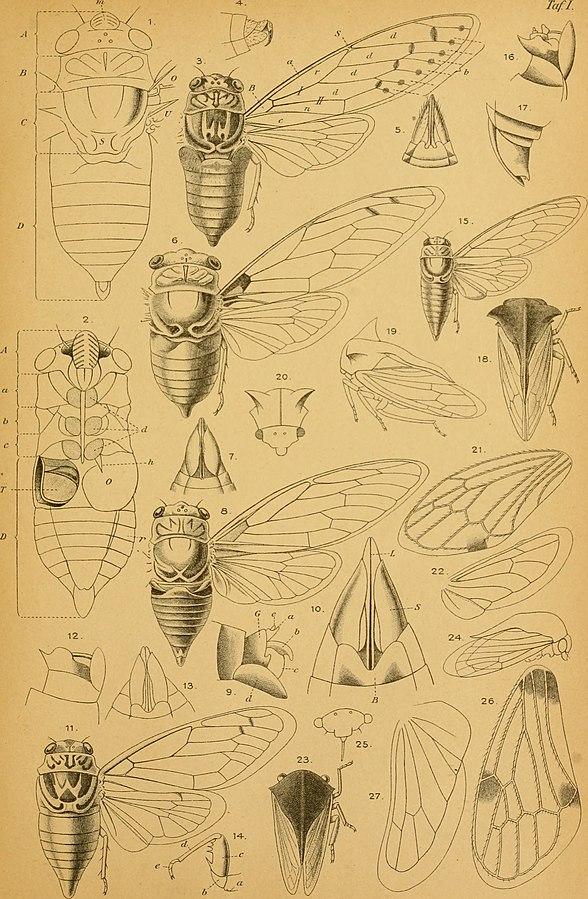 Cicadinen_(Hemiptera-Homoptera)_von_Mittel-Europa_(1896)_(19988405174).jpg